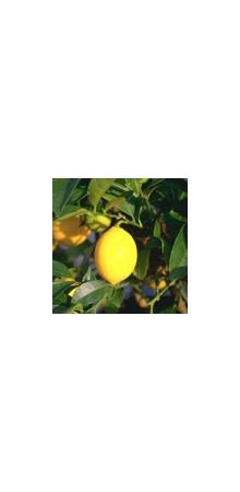 http://www.horsessentials.com/100-thickbox_default/lemon.jpg
