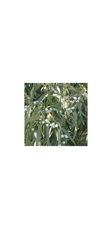 http://www.horsessentials.com/122-thickbox_default/eucalyptus-globulus.jpg