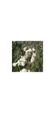 http://www.horsessentials.com/126-thickbox_default/eucalyptus-radie.jpg