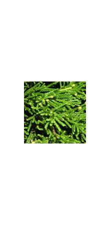 http://www.horsessentials.com/132-thickbox_default/red-cedar.jpg