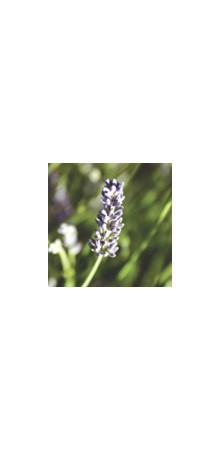 http://www.horsessentials.com/141-thickbox_default/spike-lavender.jpg