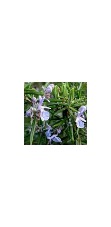 http://www.horsessentials.com/162-thickbox_default/rosemary-camphor.jpg