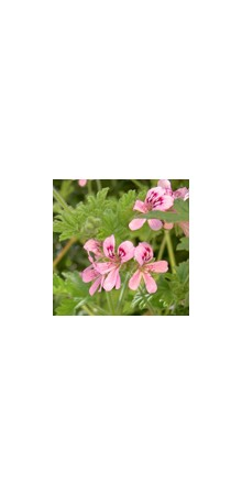 http://www.horsessentials.com/183-thickbox_default/geranium.jpg